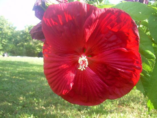 Lawsonville, Carolina del Norte: flower from her garden