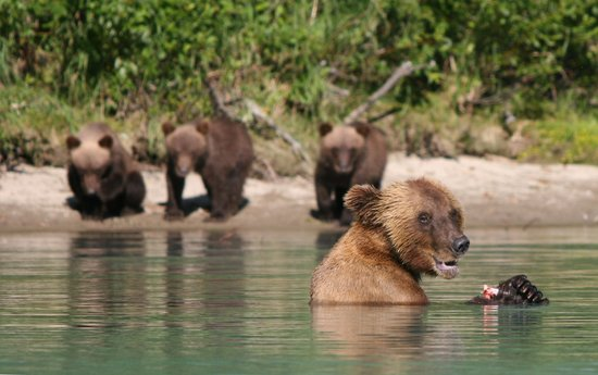 Lake Clark National Park and Preserve, AK: RML Mama bear & cubs