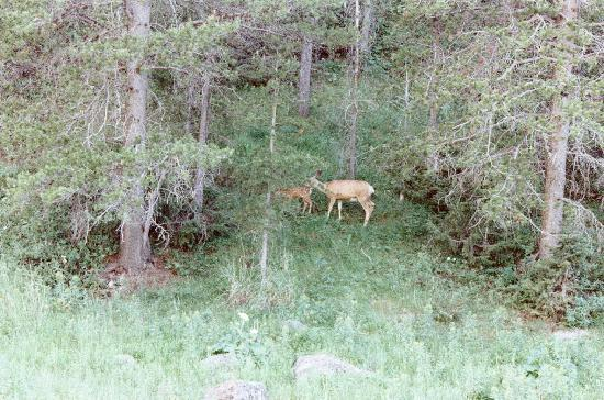 Wilderness Edge: The mule deer and her babies