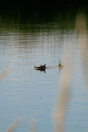 Copperstone Inn: Painted Turtles bask in the sun on the ponds