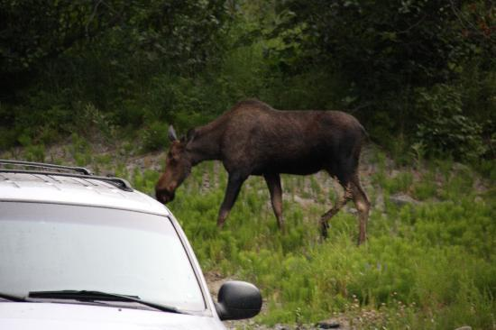 Moose Den Bed & Breakfast: Moose in the front yard