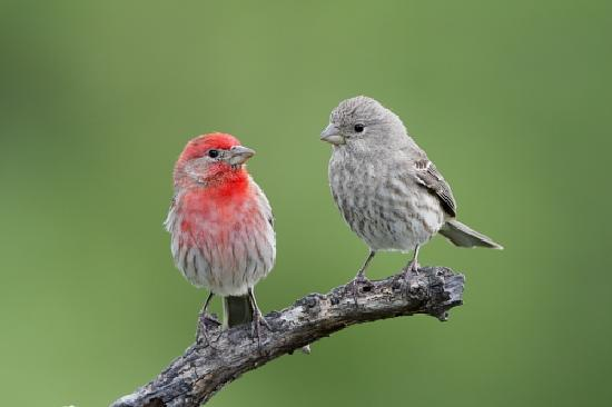 Doss, Teksas: House Finches male & female at QHR