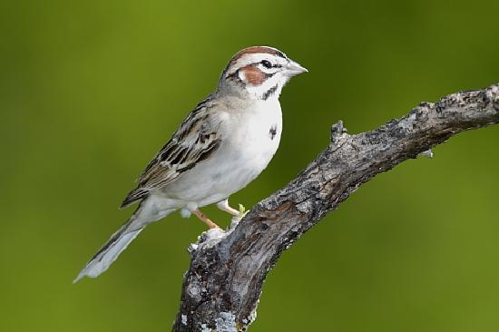 Quiet Hill Ranch - Fredericksburg: Lark Sparrow at QHR