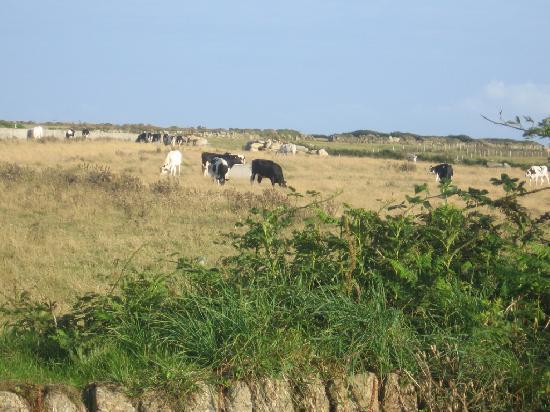 Longships Watch: cows next to garden