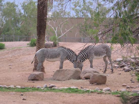 Phoenix Zoo: Zebras