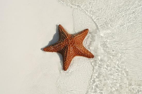 Grand Isle Resort & Spa: starfish so perfect, it almost looked fake