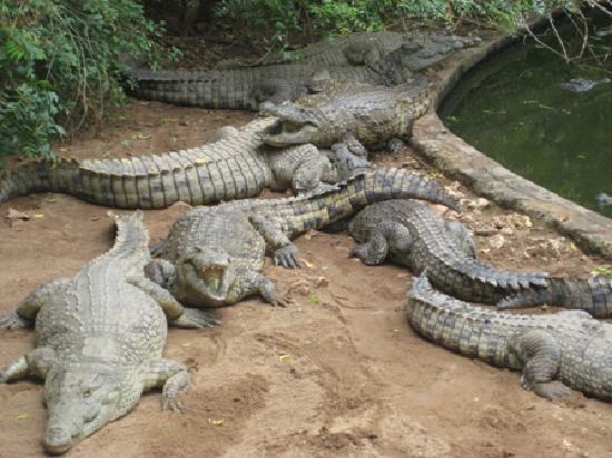 Stephanie Ocean Resort: coccodrilli