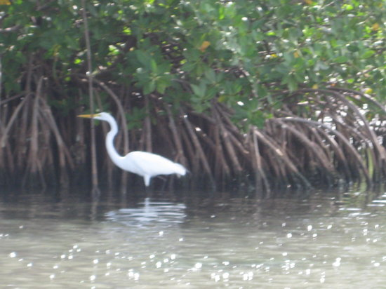 Salt River Bay National Historical Park and Ecological Preserve : Great White Egret