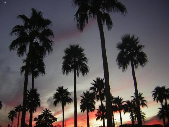 Phoenix, AZ: Palm Trees