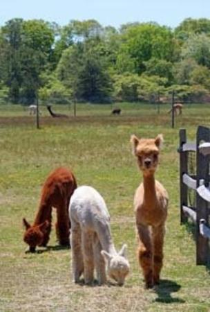 The extremely cute alpacas at island alpaca farm for Alpaca view farm cuisine
