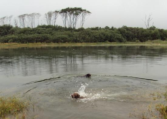 Kamp Klamath RV Park: Our dogs swimming at the mouth of the river