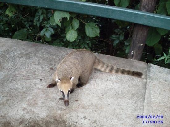 Drole D Animal A Iguazu Picture Of Puerto Iguazu Province Of Misiones Tripadvisor