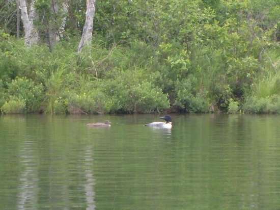 Atlanta, MI: The only ones we had to share the lake with was these loons.