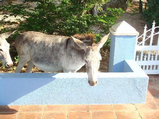 Cunucu Arubiano: Donkey behind the Blue casita.