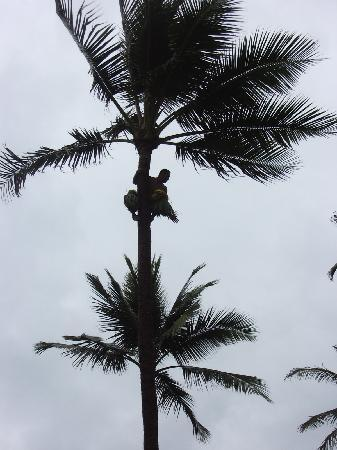 Polynesian Cultural Center: A Samoan climing the coconut tree