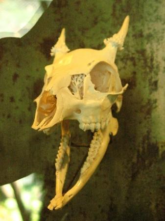 Tuxtla Gutierrez, Mexico: Esqueleto de Venado cabrito