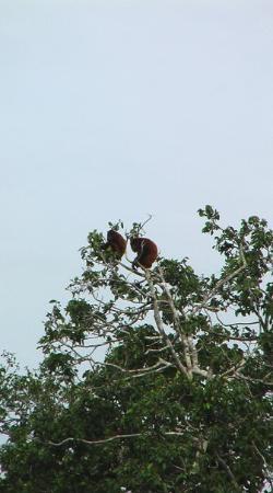 Barinas, เวเนซุเอลา: Howler Monkeys