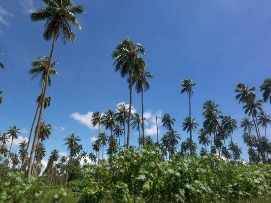 Espíritu Santo, Vanuatu: Palm Trees, Vanuatu