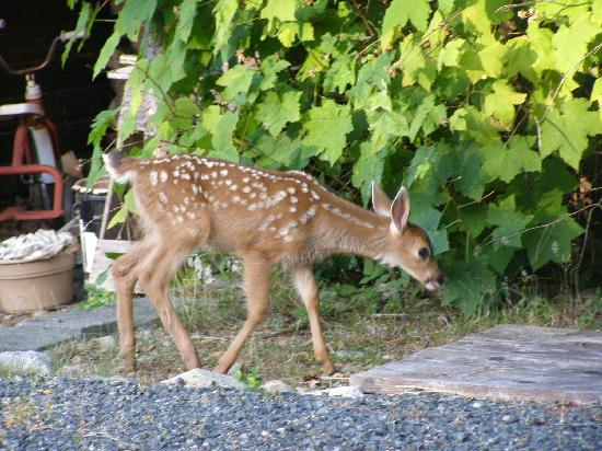 Eagle Landing Bed and Breakfast: Fawn in the garden..