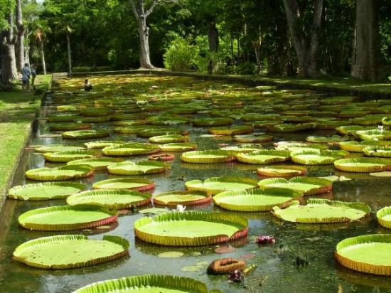 Île Maurice : orto botanico più grande del mondo...in fondo notate l'omino nella vasca,quelle sono ninfee giga
