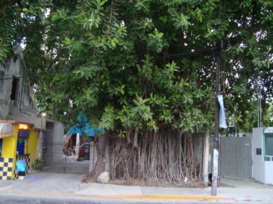 Ciudad del Carmen, México: mismo arbol 1...  esta padre no?