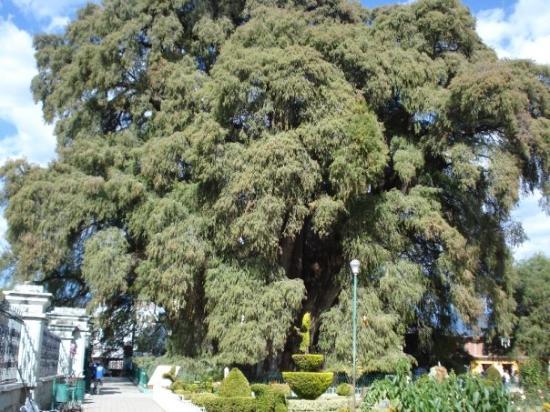 Tule Tree: El Tule
