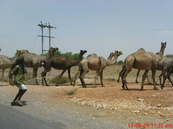 Bhilwara, Hindistan: Cameler