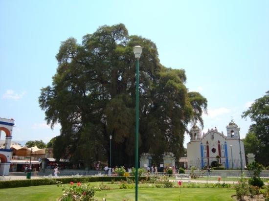 Tule Tree: El árbol del Tule sin niños alrededor. Un fraude.