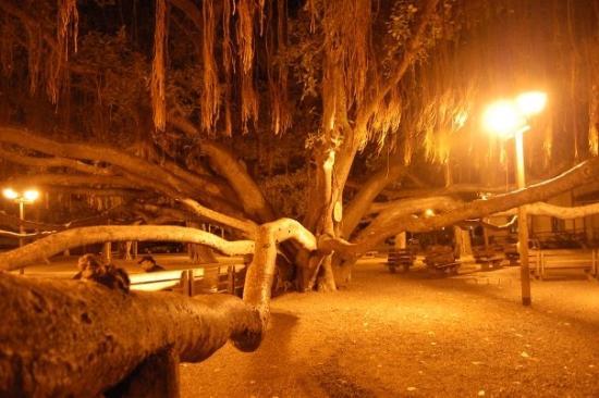 Banyan Tree Park: The great banyan tree of Lahaina
