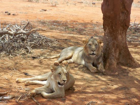 """Watamu, Kenia: i leoni nella settimana del""""matrimonio"""""""
