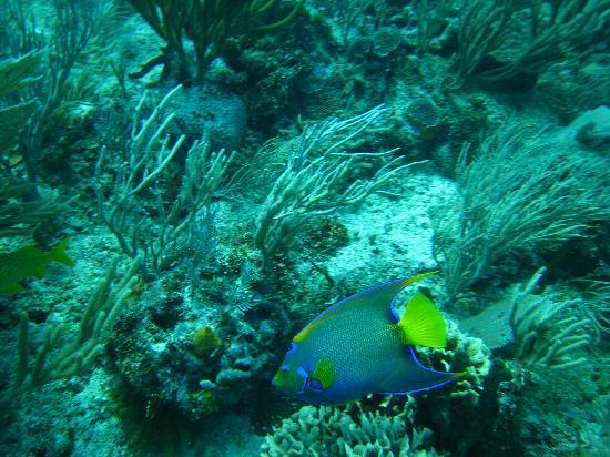 Iberostar Paraiso Maya: queen angelfish