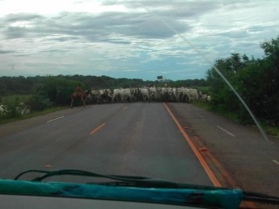 Bonito, MS: Uh-oh.. we have a cow problem!