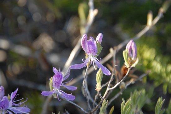 isla del Cabo Bretón, Canadá: Alpine orchids