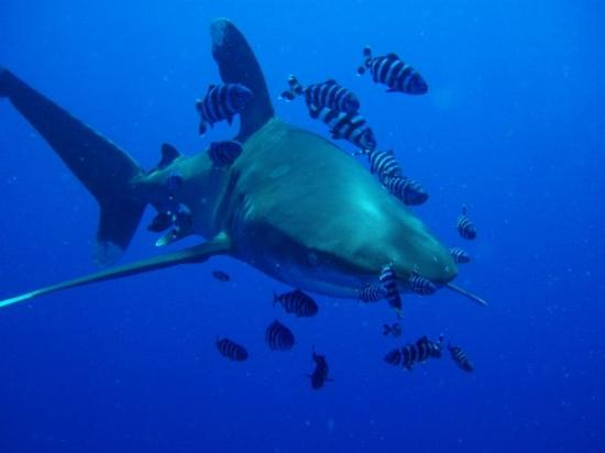 Elphinstone Reef : Longimanus (Weissspitzen-Hochseehai)