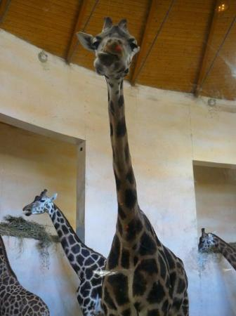 Prague Zoo: Giraffina a Praga