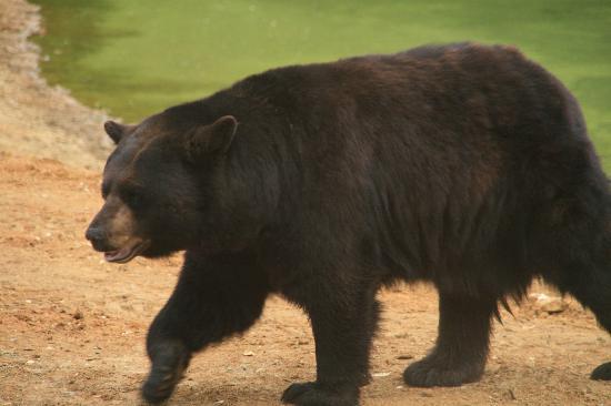 Thoiry, Frankreich: Un des nombreux Ours