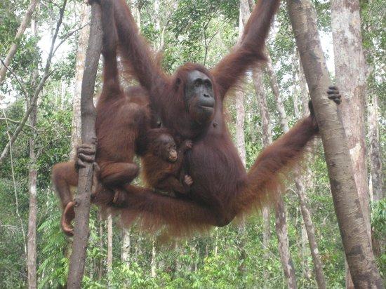Pangkalan Bun, Indonesia: Orangutan