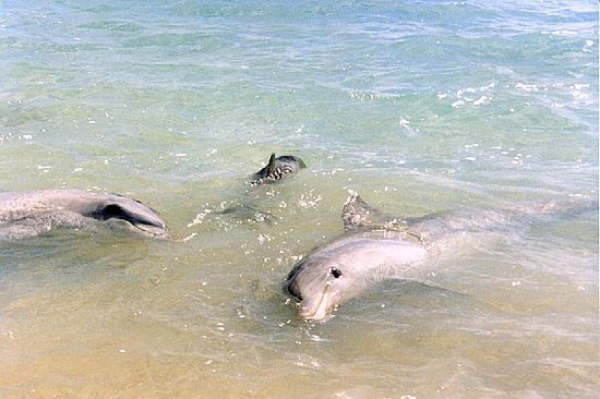 Austrália Ocidental, Austrália: Wild Dolphins in Monkey Mia, Western Australia
