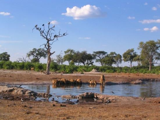 Savute Reserve: a Pride of lions near Savute camp in Chobe Nat. Park