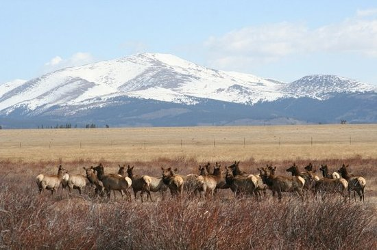 Breckenridge, CO : This morning I was watching elk from my office window, they headed across the BLM land towards s
