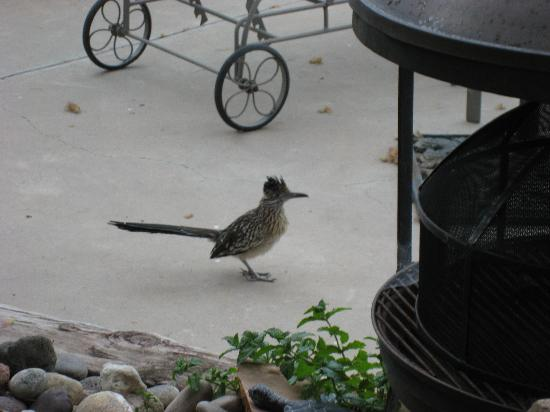 Corrales, NM: The Roadrunner wants to share our breakfast.