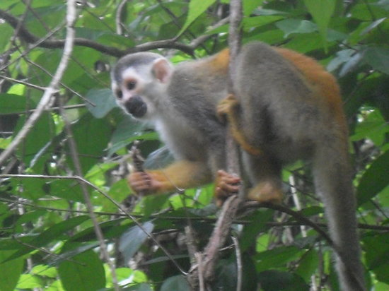 Manuel Antonio Expeditions: Squirrel Monkey