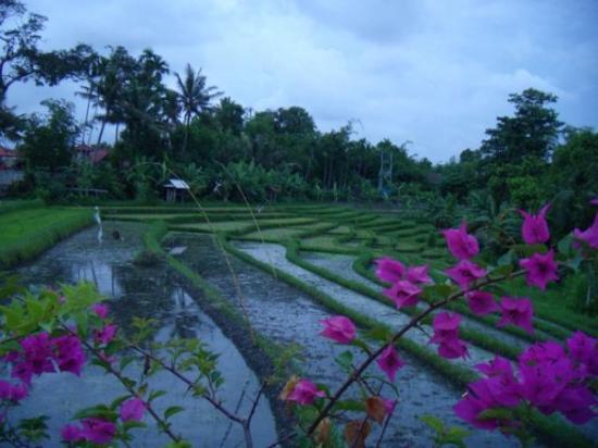 Seminyak, Indonesien: rice fields