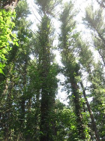 White Pines Inn: White PInes Forest