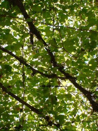Parras de la Fuente, Mexico: Vineleaves