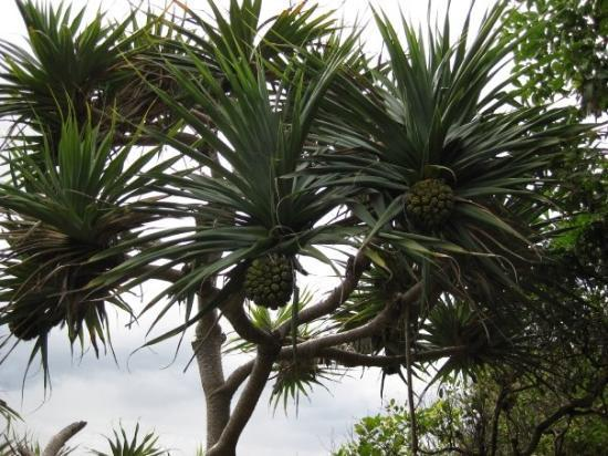 Noosa, Austrália: Strange plant ! Pineapples grow on trees ???