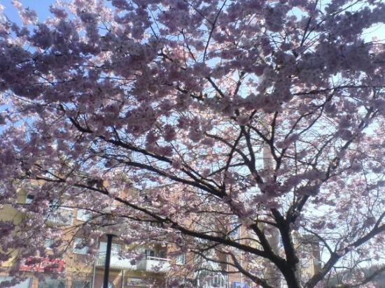 สเตนังซุนด์, สวีเดน: Gorgeous Cherry Blossom Tree in Stenungsund!