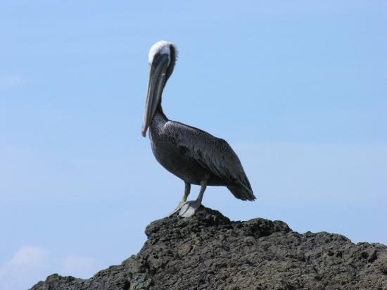 Jinetes de Osa Hotel: Brown Pelican