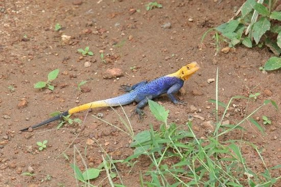 Αμπούζα, Νιγηρία: Abuja, Nigeria - The typical gecko roaming the pavements of Abuja