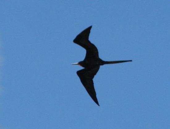 ปวยร์โตอาโยรา, เอกวาดอร์: A frigate bird